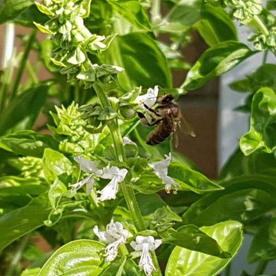 basil-bee